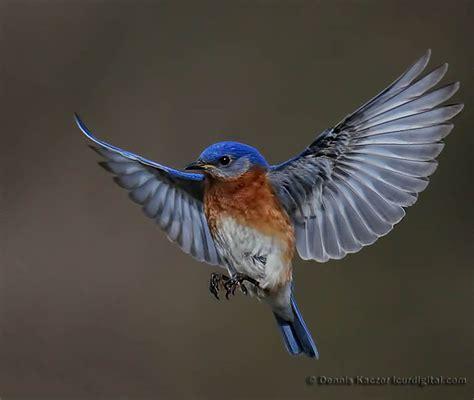 bluebird in flight www pixshark com images galleries