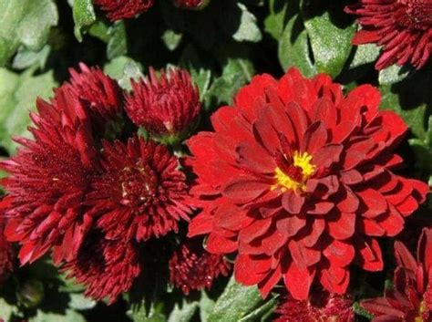 Tanaman Hias Krisan Merah Pot jual bibit unggul tanaman krisan merah bibit