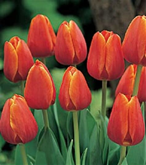 about tulips by bethany vander vorst