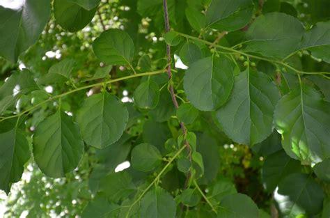 glastonbury bittersweet battlers invasive plants journal