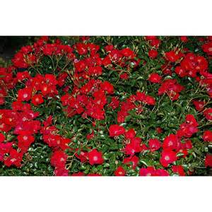 Flower Carpet Rosa Flower Carpet 174 Roses Roses Plant Type