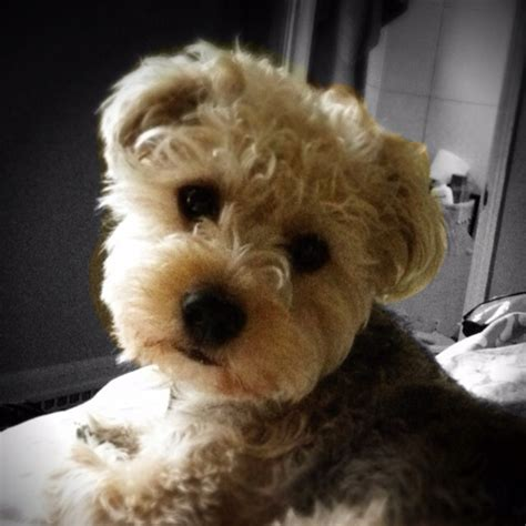 yorkie poodle lifespan 40 best images about yorkie poo puppies on