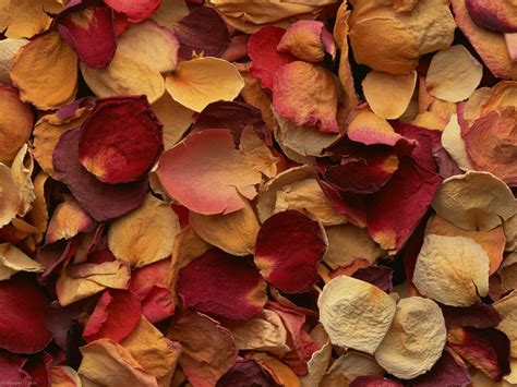 brown rose wallpaper gallery