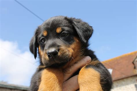 beauceron puppies for sale beauceron puppies born 21st june 2013 polegate east sussex pets4homes