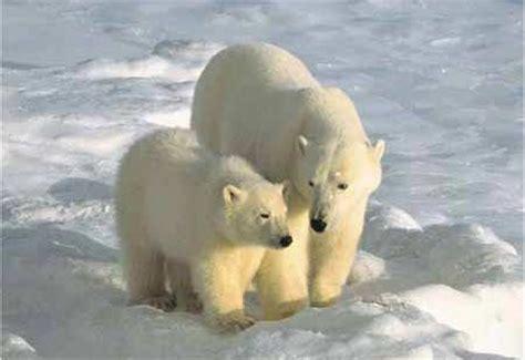 imagenes animales polares los animales del polo norte osos polares
