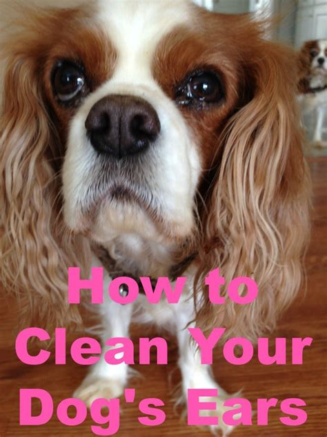 how to clean out dogs ears how to keep s ears clean