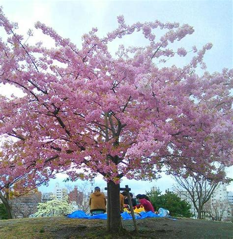 what does a cherry blossom tree symbolize choice image symbol and sign ideas significance of sakura cherry blossom traditions in japan