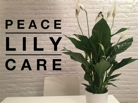 peace lily peace lily care gardening channel