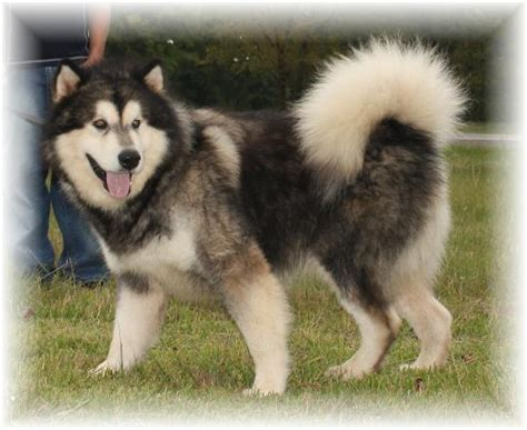 alaskan malamute puppies ohio tatonka alaskan malamutes puppies for sale alaskan malamute
