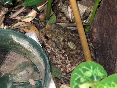 rospi in giardino rane e rospi anfibi italiani dell ordine degli anuri