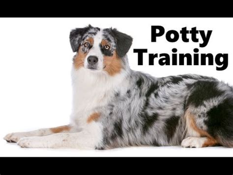 how do you say puppy in how to potty an australian shepherd puppy blue
