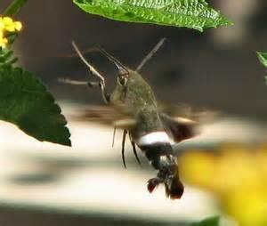 some type of hummingbird moth aellopos titan bugguide net