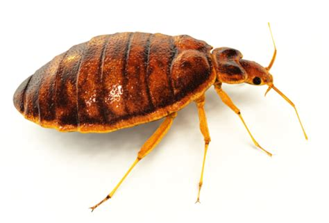 bed bugs milwaukee milwaukee pest identification guide identify and prevent