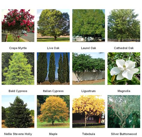 common tree like houseplants common trees