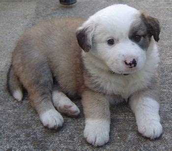 keeshond golden retriever mix 17 best images about australian shepherd dogs mixes on spaniels puppys