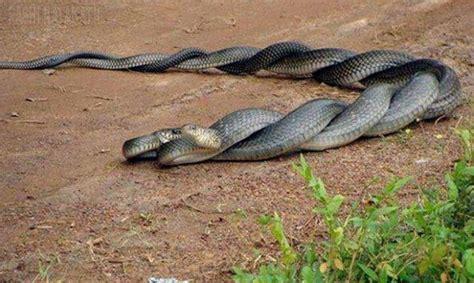 serpientes apareandose snakes pinterest