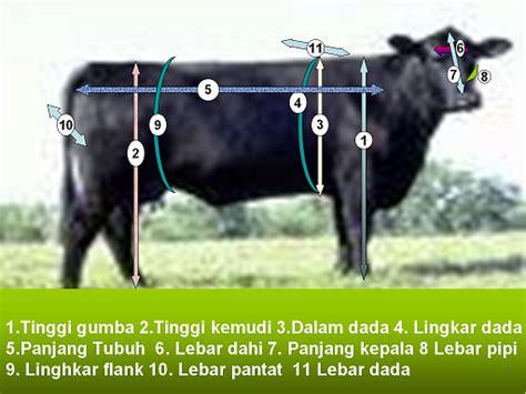 Mengukur Lingkar Dada bagaimana cara tercepat mengetahui berat badan sapi