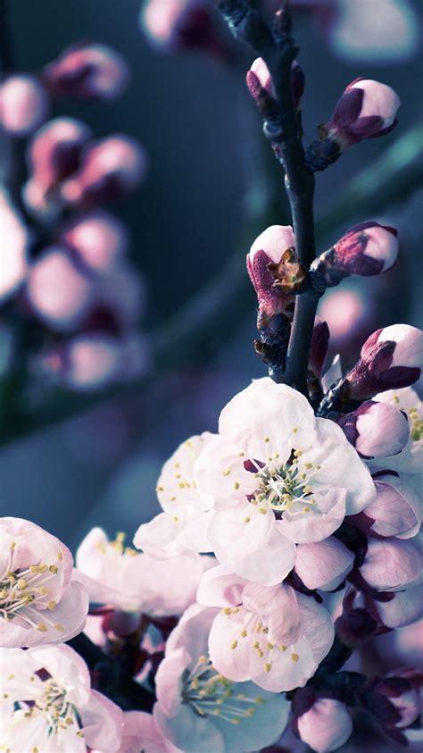 apple iphone  wallpaper  cherry blossom flower hd