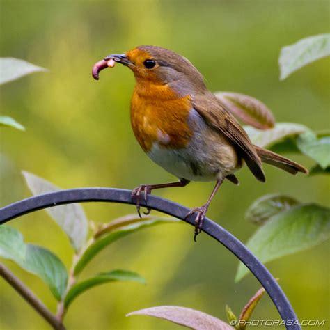 robin with worm in beak photorasa free hd photos