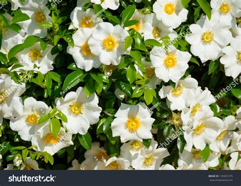 official state flowers cherokee rose official state flower georgia stock photo