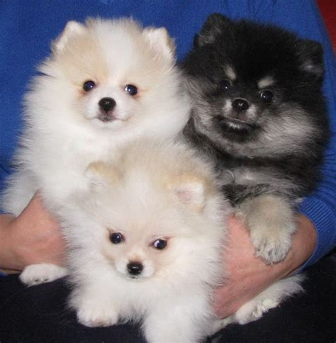 white pomeranian breeders best 25 white pomeranian puppies ideas on white pomeranian teacup