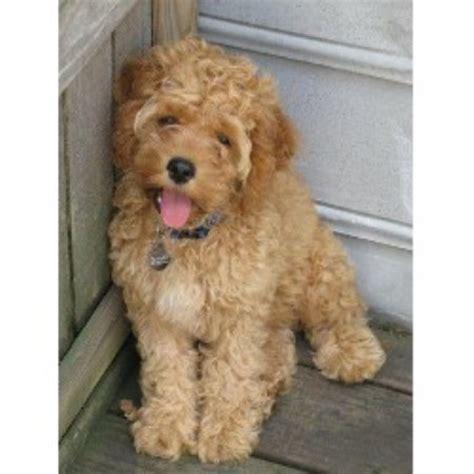 cockapoo puppies for sale in sc acura cockapoos cockapoo breeder in irmo south carolina listing id 2410