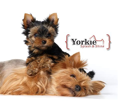 yorkie family yorkies poisoning yorkie splash and shine