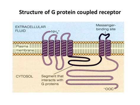 g protein coupled receptors c g protein coupled receptors
