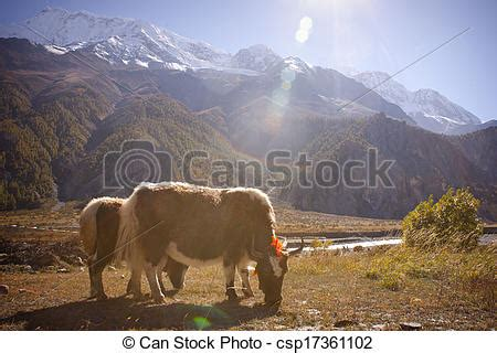 stock photography of yak in himalaya on the way from
