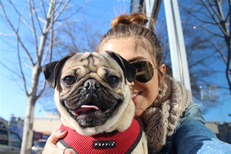 doug the pug instagram i quit my to manage my huffpost