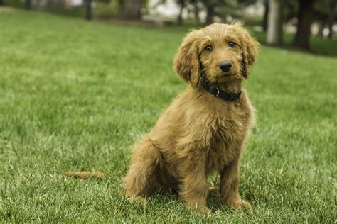 goldendoodle puppy book how big are mini goldendoodles breeds picture