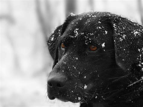 labrador puppies indiana black lab puppy snow www imgkid the image kid has it