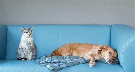 kill fleas on couch killing fleas on furniture thriftyfun