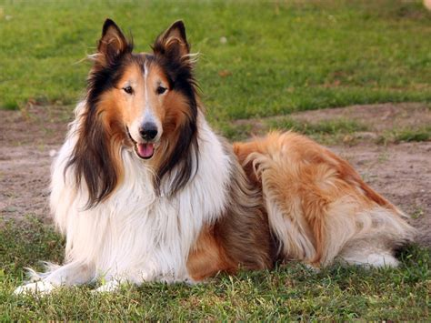 lassie breed top 10 breeds for families