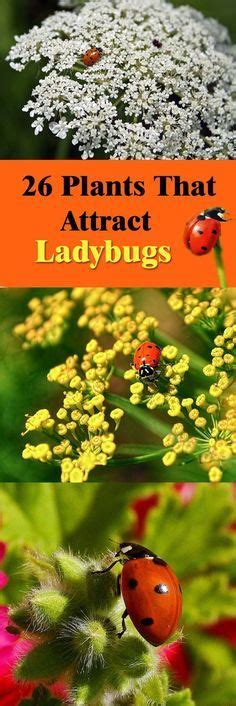 how to find ladybugs in your backyard 17 best images about ladybugs for the garden on pinterest