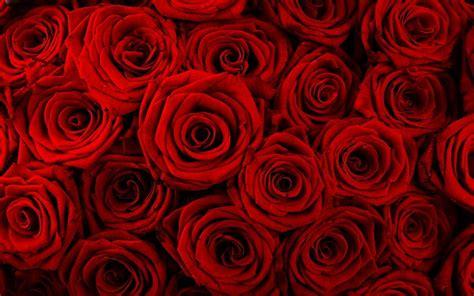 red rose desktop wallpapers wallpaper cave red rose flower backgrounds wallpaper cave