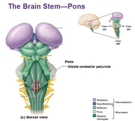 brain stem diagram the brain stem pons dorsal view middle cerebellar peduncle
