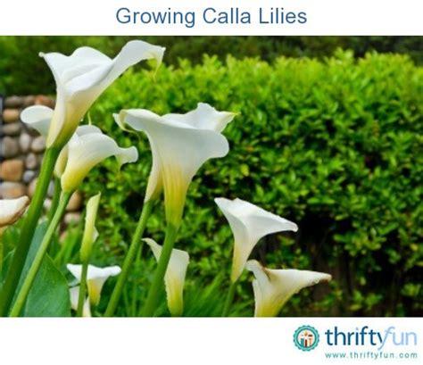 growing calla lilies thriftyfun