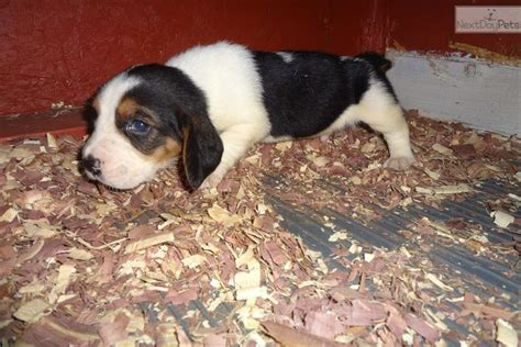 miniature basset hound puppies for sale in basset hound puppy for sale near des moines iowa b1676e51 a7b1