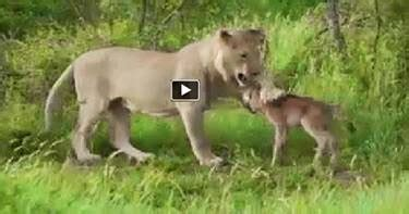 pakimasti: lion protects the baby deer