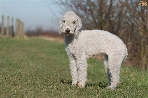17 terriers that dont shed soft coated wheaten