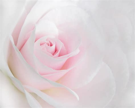 Home Design And Decor App Heaven S Light Pink Rose Flower Photograph By Jennie Marie