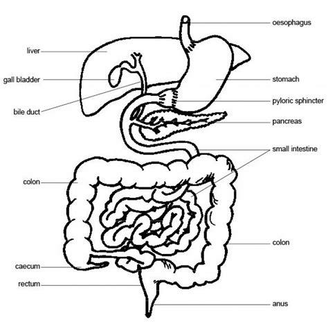 labeled diagram digestive system pig digestive system diagram labeled anatomy organ