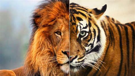 imágenes de leones juntos 191 has visto alguna vez un ligre cruce entre tigresa y