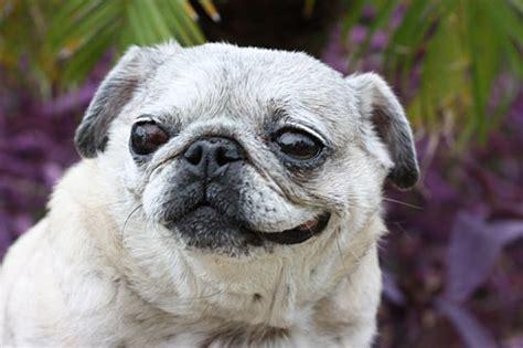 happy pug day happy gotcha day the pug