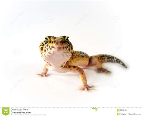 leopard gecko heat l yellow leopard gecko stock photo image of black gecko