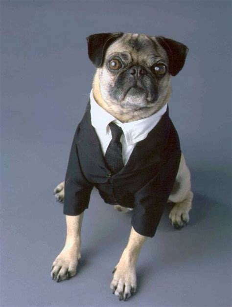 pug suits pugs in suits smushed nosed dogs pug and suits