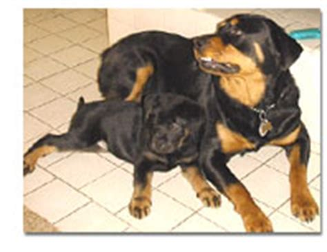 do rottweilers need a lot of exercise what is a quot rottweiler quot