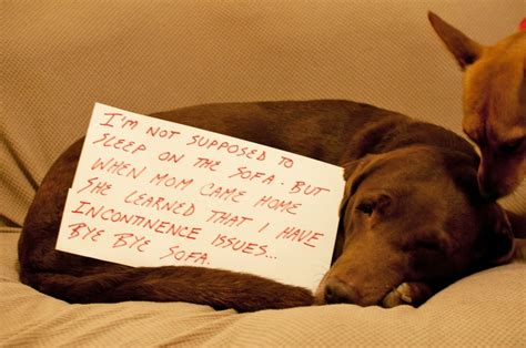 dog peeing on couch and bed pin by dog shame on dog shame pinterest