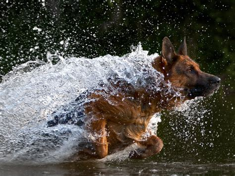 dogs in water german shepherd running in water wallpapers and images wallpapers pictures photos